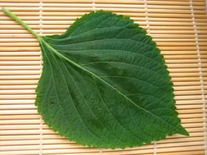 Shiso Kresse grün - in japanische Lebensmittel